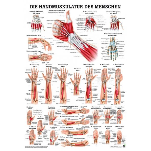 Planche Håndmuskulatur, str. 50 x 70 cm